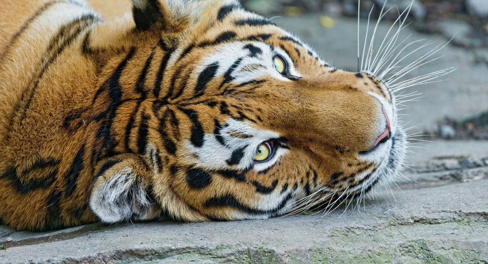 rencontrer des tigres en france
