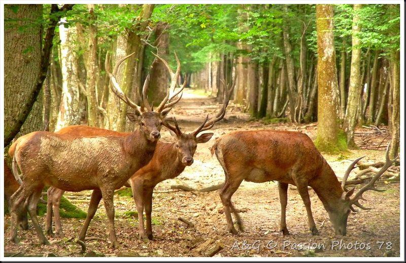 Rambouillet : à la rencontre du roi de la forêt