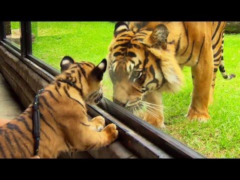 rencontre bébé tigre site rencontre nos belles années