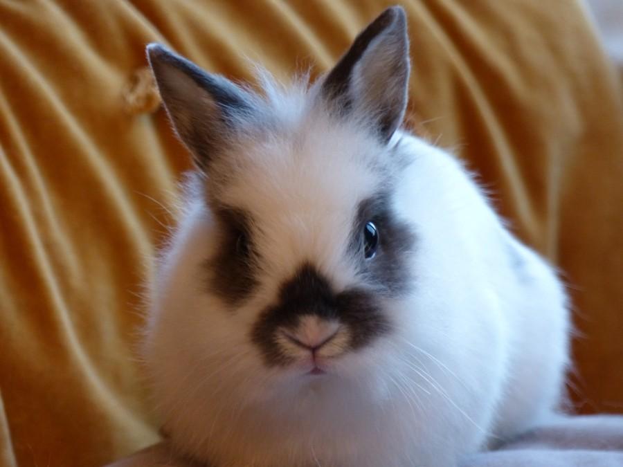 Le glamboozling ou se faire poser un lapin