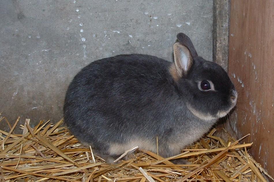 rencontre entre 2 lapins nains)